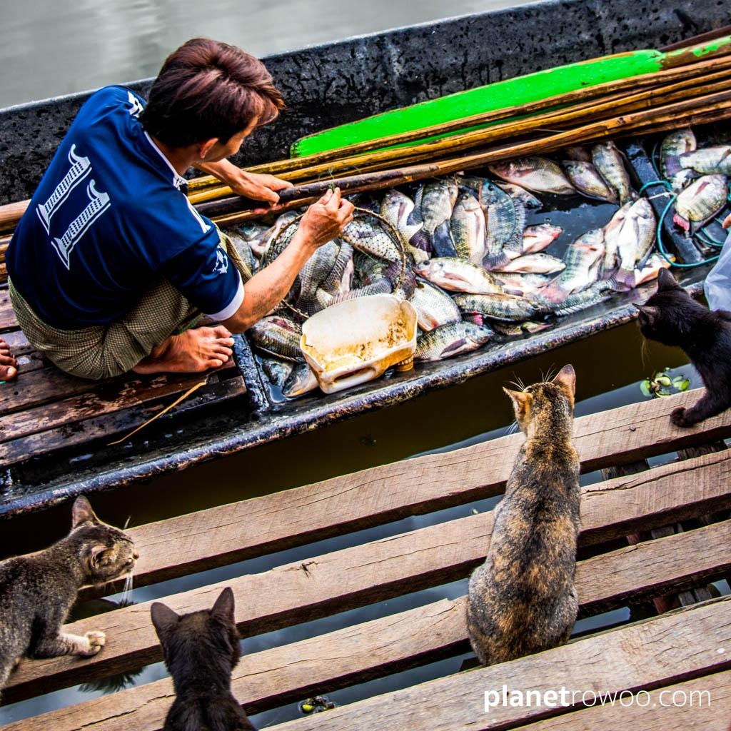 The cats of Nga Phe Kyaung Monastery eye up the daily catch