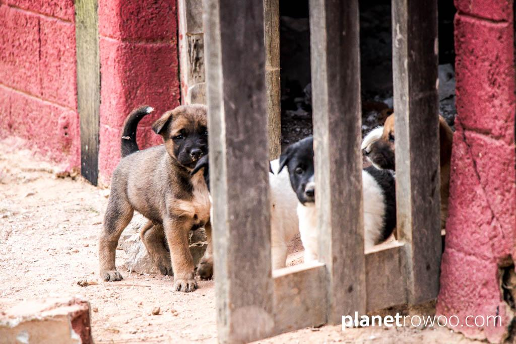 Cute puppies on my walk around Kalaw town