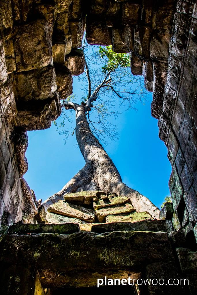 A tree reaches skyward from the ruins of Preah Khan