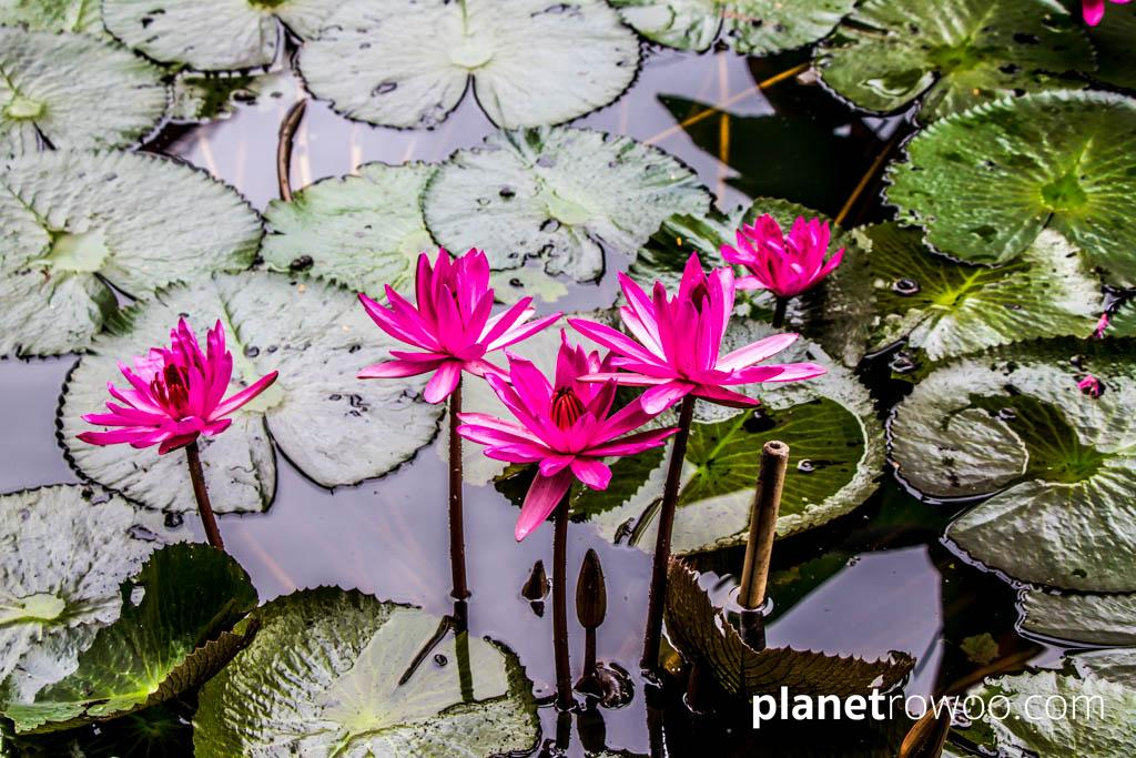 Vibrant pink lilies bloom between deep green lily pads at Maison Dalabua